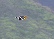Hornbill flying over Mae Wong National Park/Credit: Arthid Nima