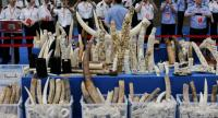 A file picture dated 29 May 2015 shows confiscated ivory items and carvings being displayed during an ivory destruction ceremony at Beijing's wildlife rescue and rehabilitation center, in Beijing, China.