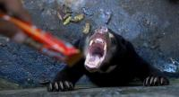 A sun bear is offered chocolate by a visitor in its enclosure at a zoo in Bandung on January 18.  Animal rights activists have demanded the closure of an Indonesian zoo after skeletal sun bears were pictured eating their own dung.//AFP