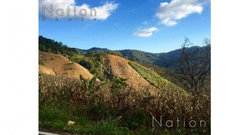 This maize plantation covers the entire slope of a mountain in Nan, which is also one of the water sources of the Chao Phraya River.  Pratch Rujivanarom
