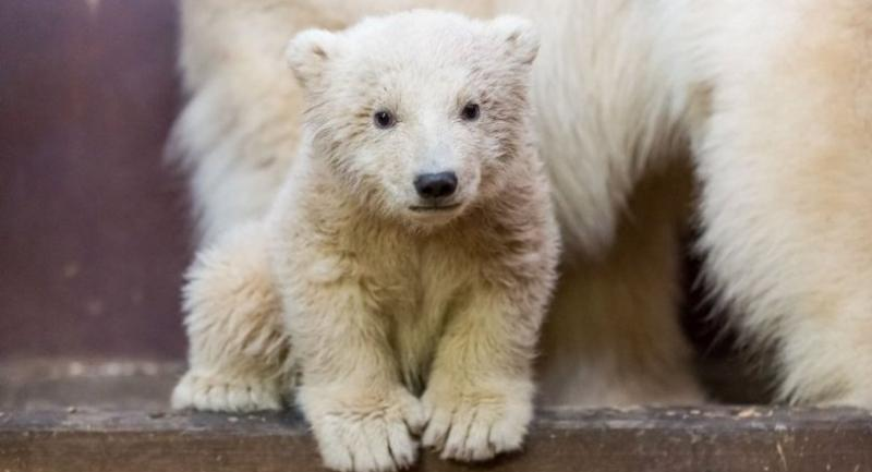 This file photo taken on February 16, 2017 and released by Tierpark Berlin (Berlin zoo) on February 24, 2017 shows then three month old polar bear Fritz in its enclosure in Berlin. / AFP PHOTO / TIERPARK BERLIN