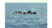 The pod of whales was at least 30-dolphin-strong. Photo: Wow Andaman Tour