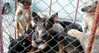 File Photo : Dogs waiting for vaccination in Samut Prakan province.