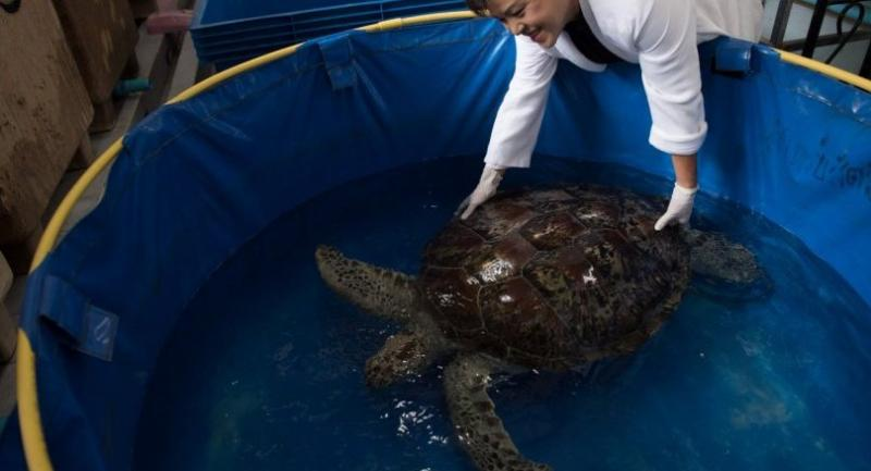 Nantrika Chansue, a veterinarian in charge of Chulalongkorn hospital's aquatic research centre handles a sea turtle dubbed