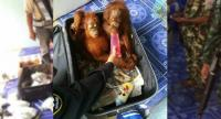 Two baby orangutans sitting inside a suitcase on the Thai side of the Malaysia-Thailand border crossing at Padang Besar, after the animals were found inside a vehicle driven by a man attempting to smuggle the orangutans into Thailand. // AFP PHOTO