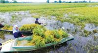 Farmers in Phitsanulok province rush to harvest their rice ahead of the coming of floods.