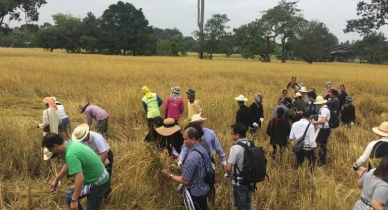 Farmers at Ubon Ratchathani are harvesting their organic Hom Mali rice.