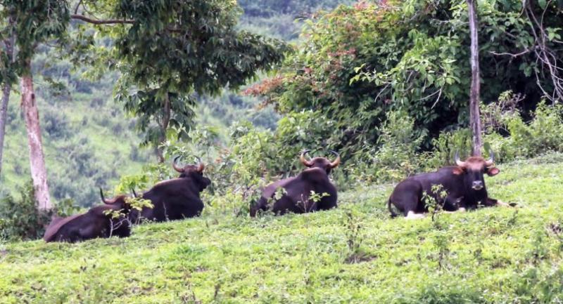 File photo:  Gaurs at Khao Phaeng Ma wildlife sanctuary in Nakhon Ratchasima.