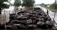 Water buffaloes are forced into a small enclosure on Chalermphrakiat Road in Songkhla's Ranot district, as their owners tried to keep them dry in the face of widespread floods. Photo Charoon Thongnual
