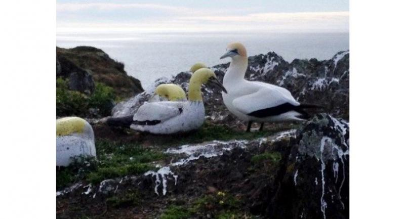 This undated handout picture shows a gannet named Nigel (R) amongst fake concrete birds on the Mana Island off the Wellington coast. //AFP