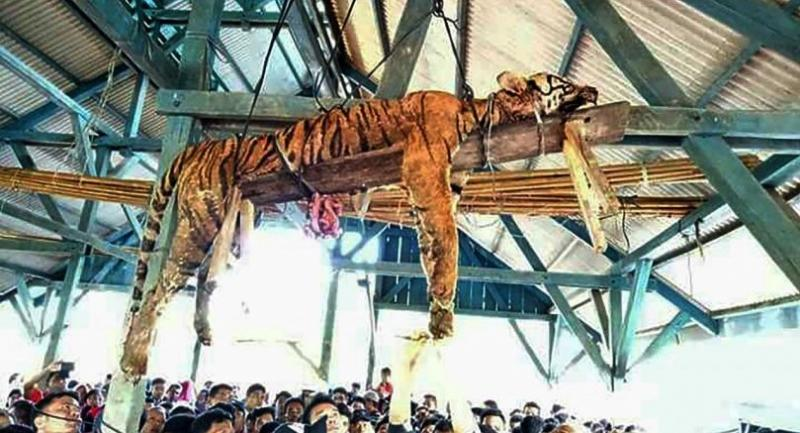 This picture taken on March 4, 2018 shows the carcass of a Sumatran tiger hung from a ceiling as villagers gather underneath at Hatupangan village in North Sumatra.// AFP PHOTO
