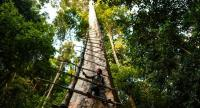 This photograph shows traditional Malaysian honey hunter Zaini Abdul Hamid fixing a ladder for harvesting bee-nests atop a giant Tualang tree in the greater Ulu Muda forests in Sik, northeast of the Malaysian state of Kedah.//AFP