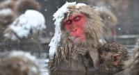 This picture taken on December 10, 2012 shows Japanese macaques, commonly referred to as
