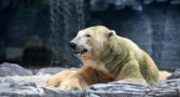 (FILES) This file photo taken on April 13, 2018 shows polar bear Inuka sitting on a sand bed inside its enclosure at the Singapore Zoo. // AFP PHOTO