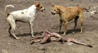 (FILES) In this file photo taken on August 30, 2016 dogs growl at each other as they fight over the remains of a dead calf on the outskirts of Wadhvan, some 140km from Ahmedabad in Gujarat state. // AFP PHOTO