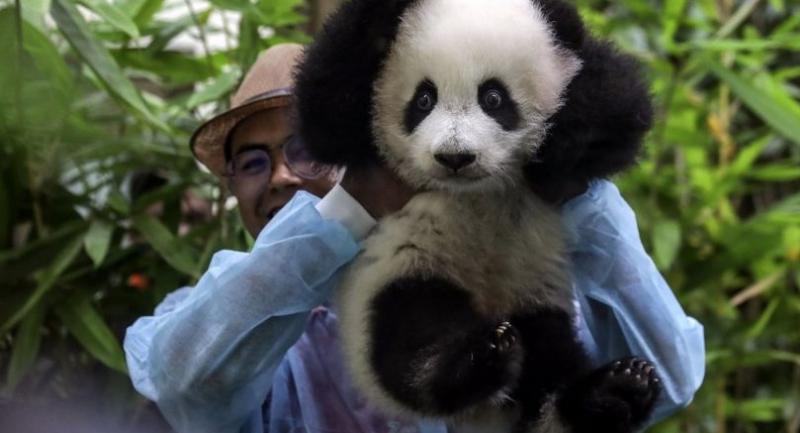 A zoo worker carries a new baby panda at Malaysia Zoo in Kuala Lumpur, Malaysia on May 26.//EPA-EFE