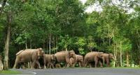 tusk tourismNine wild elephants cross a road inside the Khao Yai National Park, delighting passing tourist who quickly snap a picture of the huge mammal. Officials are on standby to ensure there are no confrontations between humans and wild pachyderm