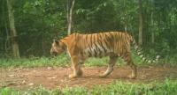 The recent photo of an adult tiger captured at the Dong Phayayen-Khao Yai Forest Complex. Photos courtesy of Khao Nang Rum, WCS, and DNP.