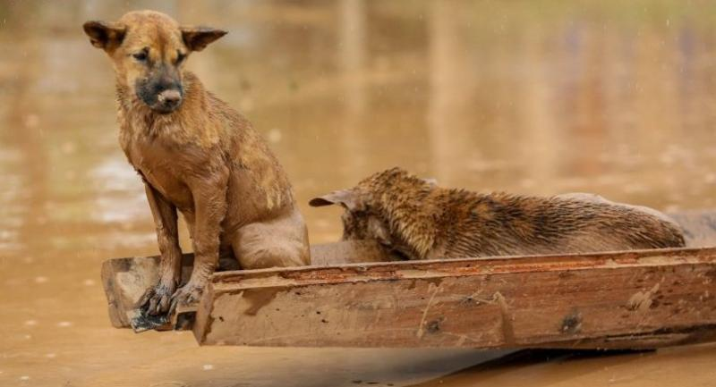 Two dogs ride a small boat in the flooded areas in Sanamxai, Attapeu province, on July 26, 2018./AFP