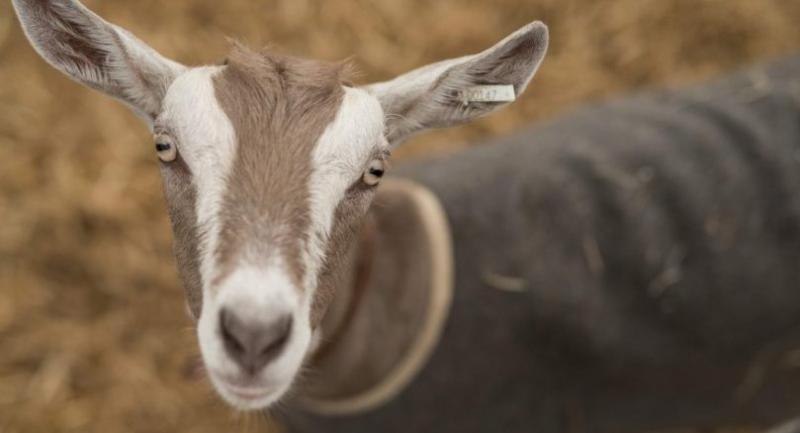 File photo : goat//AFP