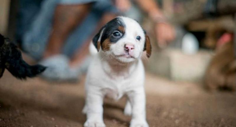 Puppies need to be 12 weeks or older before they can be vaccinated against rabies.