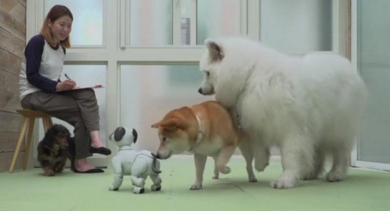 Of the nine that approached Aibo, six dogs attempted to sniff Aibo's rear end, indicating an interest in learning more about the robot dog. PHOTO: SCREENGRAB FROM YOUTUBE/ROBOT START CO., LTD.