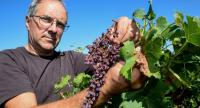 French wine-grower Joel Tauzin shows bunch of grapes attacked by mildew at the Merlet vineyard, in Leognan near Bordeaux, on August 11, 2018./AFP