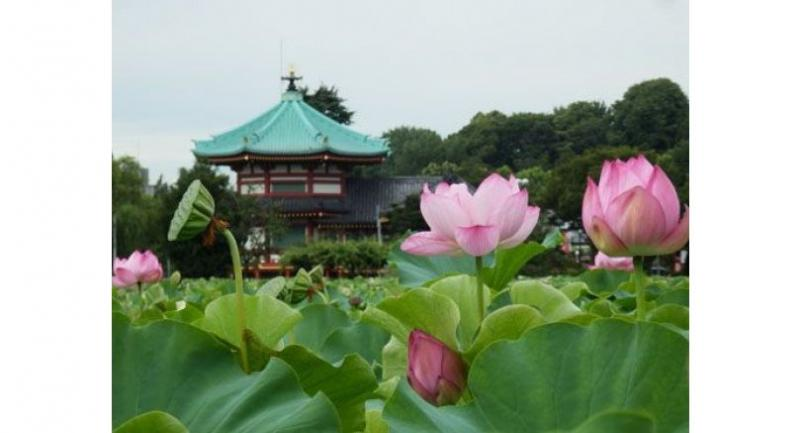 Shinobazu Pond in Tokyo's Ueno Park is double delightful each summer as the lotus flowers come into bloom, their pink hue contrasting with the red and green of Bentendo Temple.