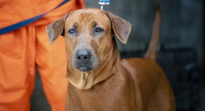 Chaiyo, the 250,000th dog sterilised by Soi Dog.
