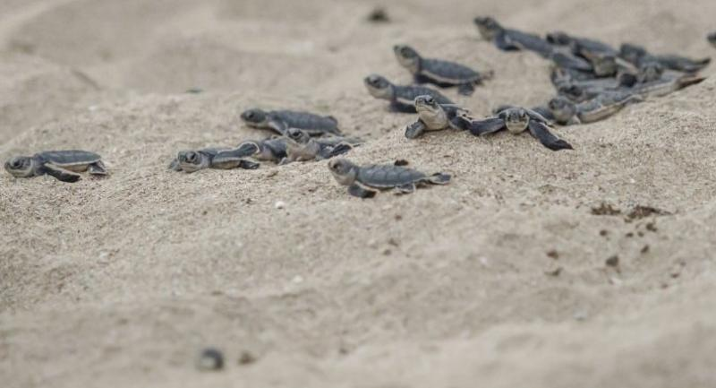 This picture taken on October 20, 2018 shows newborn green turtles heading to the sea after being release from a protected area on Thameehla Island./AFP