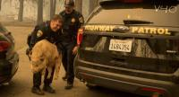 California Highway Patrol officers attempt to transfer a potbelly pig they rescued to Butte County Animal control officers in Paradise, as the Camp Fire continues to burn out of control through the region//AFP