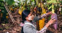 A farmer in northern Myanmar takes care of a banana tree at one of the agricultural bases operated by Tengchong's Jinxin Trade Co. [Photo provided to China Daily]