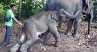 A veterinarian (left) from the Riau Natural Resources Conservation Agency treats a wild Sumatran elephant calf at the Minas elephant training center in Riau recently. (Antara/FB Anggoro)