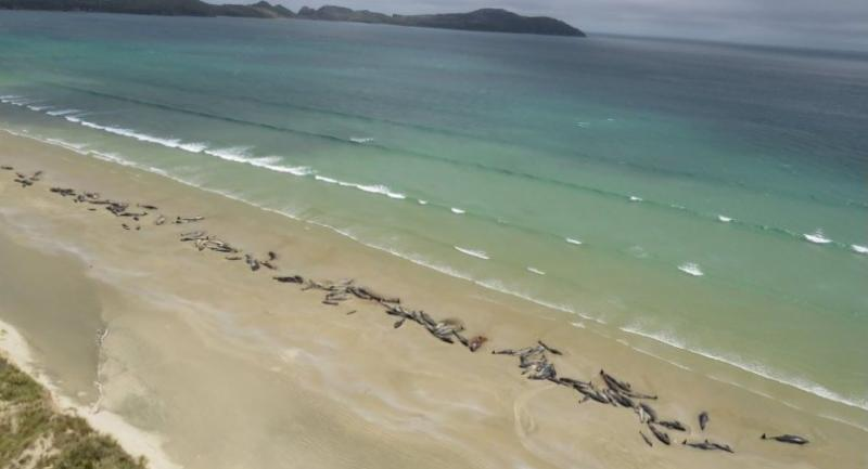 This handout photo taken and released on November 26, 2018 from the New Zealand Department of Conservation shows dead pilot whales on a remote beach on Stewart Island in the far south of New Zealand./AFP