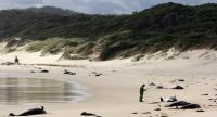 This handout photo from Parks Victoria taken and released on November 28, 2018 shows dead whales on a beach in Croajingolong National Park in Victoria state./AFP