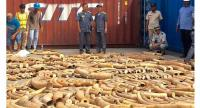 This photo taken on December 13, 2018 shows Cambodian Customs and Excise Officials looking at ivory seized from a shipping container at the Phnom Penh port. // AFP PHOTO