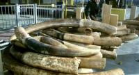 Currently Dutch law permits the sale of raw ivory with an EU certificate, provided it entered the country between 1947 and 1990. // AFP PHOTO