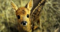 In this file photo taken on May 16, 2017 a fawn is pictured at the