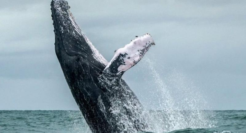 This file photo taken on August 12, 2018 shows a Humpback whale jumping in the surface of the Pacific Ocean at the Uramba Bahia Malaga National Natural Park in Colombia.//AFP