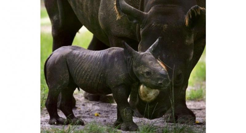 A baby endangered Black Rhinoceros stays close to her mother, 6 1/2 year old.//AFP