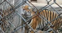 A tiger rescued from the illegal wildlife trade is relocated to the breeding centre in Huai Kha Khaeng Wildlife Sanctuary. Too old to return to the forest, it must spend its entire life there.