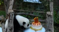 A female one-year-old panda cub sniffs her birthday cake during a celebration at Malaysia's national zoo in Kuala Lumpur on January 14.//AFP