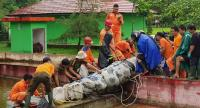 shows a 4.4 metre long crocodile named Merry being taken out of its enclosure in Minahasa in North Sulawesi, after a woman on January 10 was mauled to death in the reptile's enclosure.//AFP