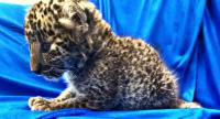 In this handout picture released by Customs Chennai International Airport and taken on February 2, 2019, shows a leopard cub after it was seized from a checked baggage of a passenger travelling from Bangkok, at Chennai International airport.//AFP