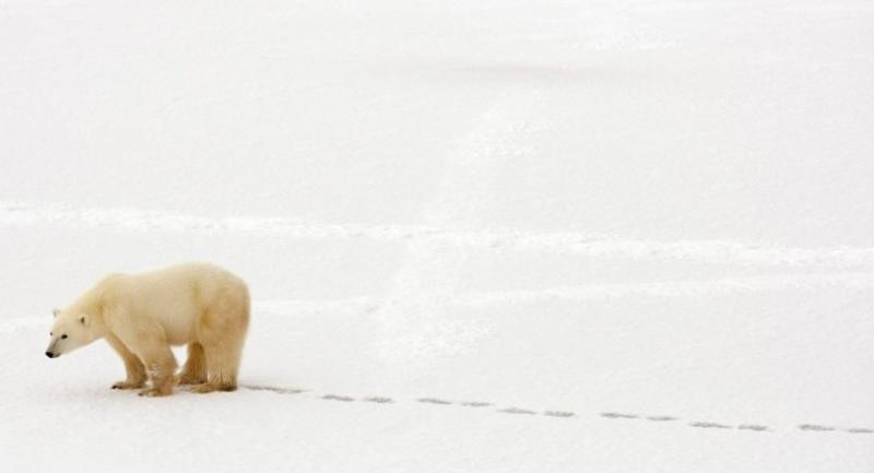 In this file photo taken on November 13, 2007 a polar bear walks in the snow near the Hudson Bay outside Churchill, Mantioba, Canada./AFP