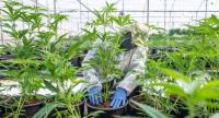 Cannabis seedlings are cared for by a worker in a green house of the cannabis cultivating and processing plant of BOL Pharma – Revadim Industrial Centre in Lod, Israel. // EPA-EFE PHOTO