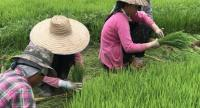 Farmers in several areas turn to traditional rice practices and local rice varieties in an attempt to build up immunity against modernisation.