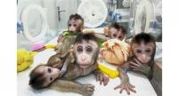 Precarious achievement: The five cloned macaques at the research institution near Shanghai.//AFP