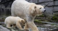 A polar bear cub and her mother Tonja are photographed at their enclosure as the baby is presented to the press after leaving the breeding burrow for the first time on March 15, 2019 at the Tierpark zoo in Berlin.//AFP