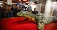 Tourists look at a specimen of the last Hoan Kiem lake turtle inside Ngoc Son Temple, near the northern shore of Hoan Kiem Lake, in Hanoi, Vietnam, on March 18.//EPA-EFE